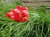 Букет красных тюльпанов лежит на траве