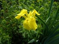 Желтый цветок ириса