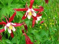 Красно-белые колокольчики цветов