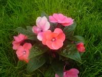 Цветок с листьями и розовыми цветками