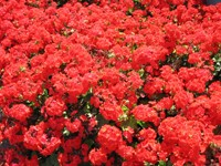 Поляна красных цветов