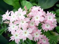 Розово-белые гвоздики