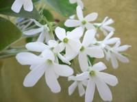 Белые цветы матеолы