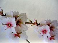 Цвет абрикосы