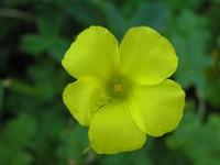 Желтый пятилистный цветок