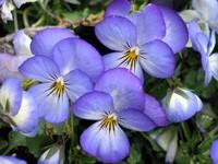 Фиолетовые анютины глазки