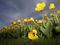 Клумба желтых тюльпанов