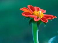 Красный цветок-майор