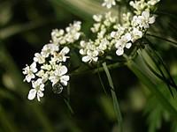 Соцветие белых цветов