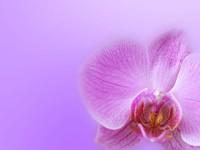 Светло-вишневая орхидея
