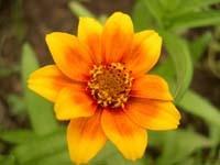 Желто-оранжевая георгина