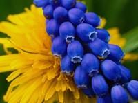 Синие колокольчики на желтом цветке