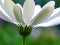 Белая ромашка