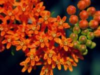 Оранжевое цветение
