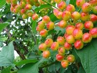 Красно-желтое цветение куста