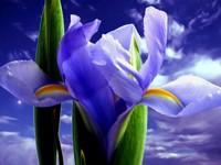 Цветущий ирис на фоне синего неба