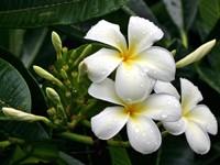 Куст цветущей  плюмерии