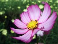 Светло – вишневый цветок