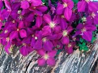 Цветы пурпурного цвета