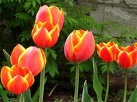 Семь цветущих тюльпанов