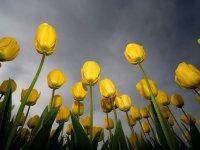 Желтые тюльпаны на фоне темного неба