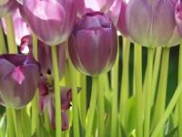 Тюльпаны темно-сиреневого цвета