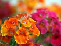 Соцветие оранжевых  и розовых цветов