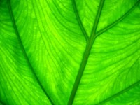 Зеленый лист с прожилками
