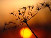Соцветие укропа на закате