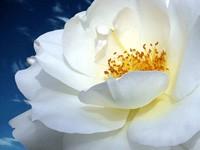 Белая чайная  роза