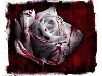 Белая роза в крови