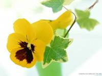 Желтые анютины глазки в вазе