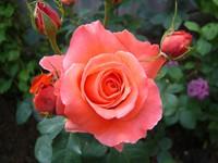 Куст розовой розы с бутонами