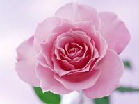 Розовая  раскрывшаяся роза