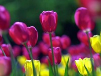Тюльпаны желтого и алого цвета