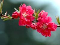 Цветение дерева розового цвета