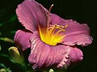 Цветок пурпурного цвета