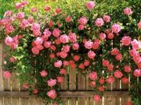 Плетущаяся розовая роза на заборе