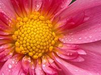 Розовый цветок с желтой серединкой