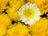 Хризантема белая среди желтых