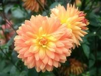 Георгины светло-розовые