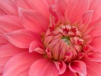 Розовая георгина