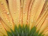 Закрытый цветок с капельками росы