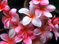 Светло-розовые плюмерии