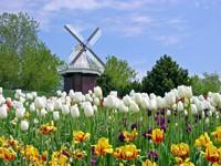 Поле тюльпанов на фоне мельницы