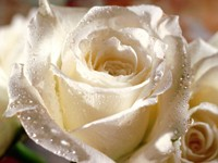 Белая роза с капельками воды