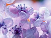 Необычные цветы светло-сиреневого цвета