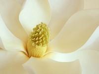 Белый цветок с кремовой серединкой