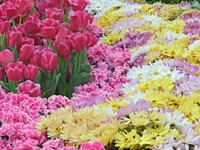 Клумба тюльпанов и гвоздик