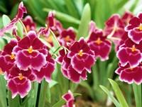 Бардовые цветы